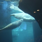 Beluga Whale, Credit: brianandjaclyn on flickr