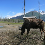 Moose at the Alaska Wildlife Conservation Center