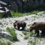 Grizzlies, Alaska Wildlife Conservation Center