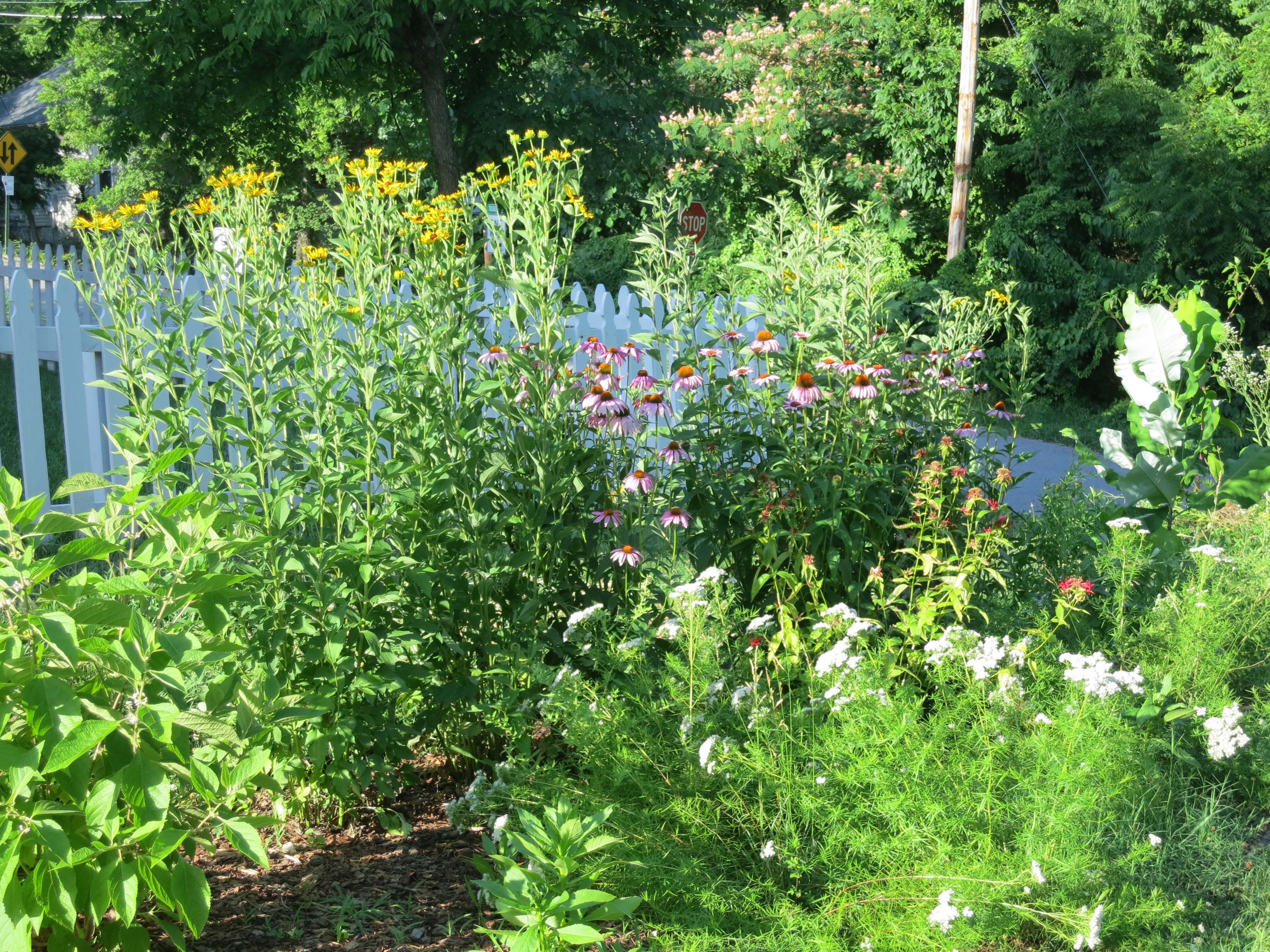 Sweet black-eyed susans, purple coneflowers, bee balm, and narrow leaf mountain mint in June